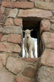 De geit van de baby mtn in venster Stock Foto