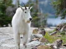 De geit van de berg Royalty-vrije Stock Foto