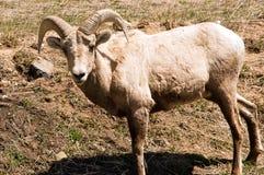 De geit van de berg Royalty-vrije Stock Afbeeldingen