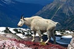 De Geit van de berg (americanus Oreamnos) Stock Foto's