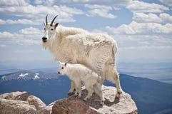 De Geit van de berg met Jong geitje Stock Afbeelding