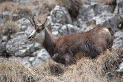 De geit van de berg in natuurlijke habitat Royalty-vrije Stock Afbeelding