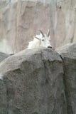 De geit van de berg onder de rotsen en de klippen Stock Foto's