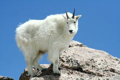 De Geit van de berg tegen een Duidelijke Blauwe Hemel Royalty-vrije Stock Foto's