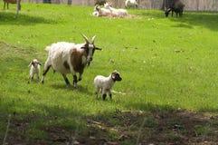 De Geit van de moeder en haar Jonge geitjes Royalty-vrije Stock Foto