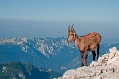 De geit van de rots op de bovenkant van de berg Stock Fotografie