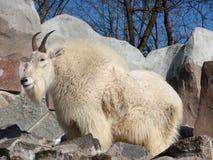 De geit van de sneeuw Royalty-vrije Stock Foto's