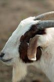 De geit van het boerenerf Royalty-vrije Stock Fotografie