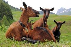 De geiten Stock Fotografie