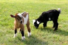 De Geiten die van het babylandbouwbedrijf Gras eten Royalty-vrije Stock Afbeelding