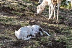 De geiten in Ethiopië dichtbij de Blauwe Nijl valt, Dalingen tis-Isat van Ethiopië, Afrika stock afbeelding
