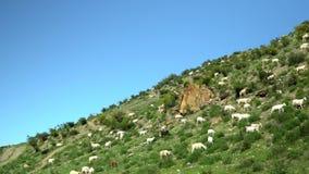 De geiten gaan op een groen gras Een weiland voor het vee Het landschap van de berg stock videobeelden