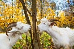 De geiten is geweid op een weide Stock Foto's