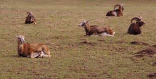 De geiten rusten op weide Stock Foto