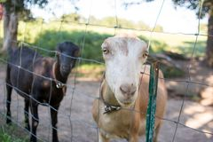 De geiten, sluiten omhoog Stock Foto's
