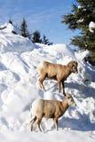 De geiten van de berg Royalty-vrije Stock Afbeeldingen