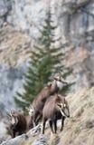De geiten van de berg Stock Afbeeldingen