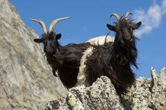 De geiten van de berg Royalty-vrije Stock Afbeelding