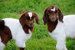De Geiten van het Jonge geitje van de baby Royalty-vrije Stock Afbeeldingen