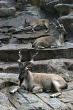 De geiten van de Lrestdierentuin royalty-vrije stock afbeelding