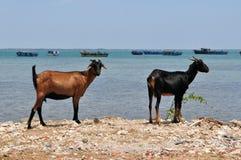 De Geiten van Srilankan op eiland met fisherboats Stock Afbeelding
