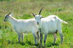 De geiten weiden in een weide Grappige geit met één hoorn royalty-vrije stock afbeeldingen