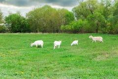 De geiten zijn geweid in een weide Stock Fotografie