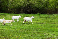 De geiten zijn geweid in een weide Stock Foto's