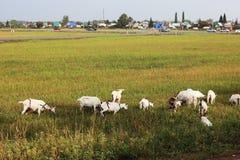 De geitgeiten weiden dichtbij de stad De stad van Oefa royalty-vrije stock foto's