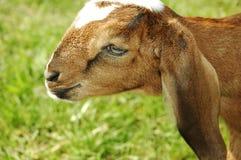 De geitgezicht en oren van babynubian stock afbeeldingen