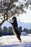 De geittribune eet tot van een boom op gesneeuwd gebied Royalty-vrije Stock Afbeeldingen