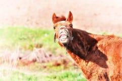 De gekke lach van het paard grappige gezicht stock afbeelding