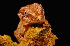 De gekko van de gargouille op korstmos Royalty-vrije Stock Foto
