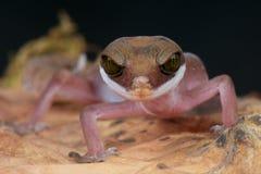 De gekko van de kat royalty-vrije stock afbeeldingen