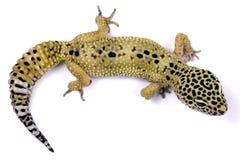 De gekko van de luipaard Stock Fotografie