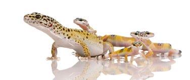 De gekko van de luipaard - macularius Eublepharis Royalty-vrije Stock Foto's