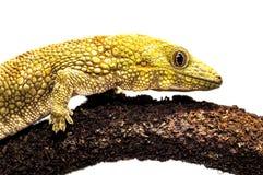 De Gekko van het Eurydactylodesagricolae/Bauer Kameleon Royalty-vrije Stock Foto's