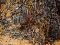 De gekko van de Namibdag in de schors van een boom wordt gecamoufleerd die royalty-vrije stock fotografie