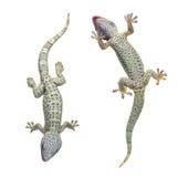 De gekko van Tokay - gekko Gekko Stock Afbeelding