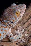 De gekko van Tokay op hout Stock Afbeeldingen