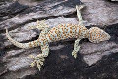 De gekko van Tokay stock foto's