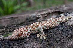 De gekko van Tokay stock afbeelding