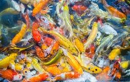 De gekleurde Crap-vijver van de vissen hoogste mening in het park, Luim crap vist sur stock foto's