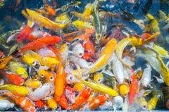 De gekleurde Crap-vijver van de vissen hoogste mening in het park, Luim crap vist sur royalty-vrije stock afbeeldingen