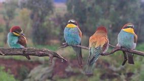 De gekleurde vogel zit en spint op een droge tak stock video