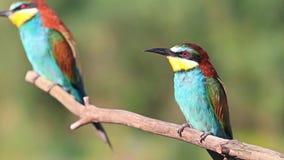 De gekleurde vogels branden in de zon en het zingen stock video