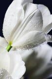 De gekleurde witte tulpen van het beeldclose-up met waterdalingen op donkere B Royalty-vrije Stock Afbeelding