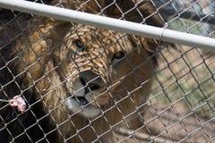 De gekooide Mannelijke die Leeuw met manen achter een omheining wacht op vlees op een vork door een bewaarder & x28 wordt gevoed; Royalty-vrije Stock Foto's