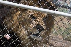 De gekooide Mannelijke Leeuw met manen wacht op vlees op een vork van bewaarder door omheining & x28; Panthera leo& x29; Royalty-vrije Stock Fotografie