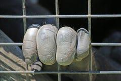 De gekooide primaten overhandigen Royalty-vrije Stock Foto